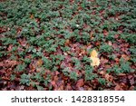 Single Yellow Maple Leaf Atop...