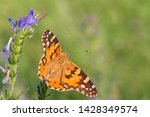 close up of painted lady...   Shutterstock . vector #1428349574