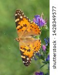 close up of painted lady...   Shutterstock . vector #1428349577