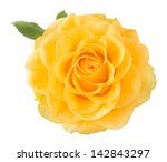 Yellow Rose Closeup Isolated On ...