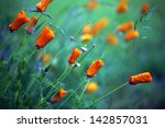 Orange Poppy Flowers