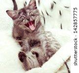 Stock photo beautiful scottish young cat 142857775
