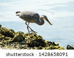 One Great Blue Heron Caught A...