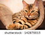 Stock photo bengal cat 142870015