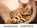 bengal cat | Shutterstock . vector #142870015
