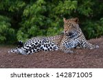 A Young Male Leopard Lies Down