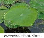 Water Lily Pads In A Pond ...