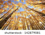 Aspen Trees With Fall Color ...