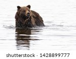 A Grizzly Bear Swims In The...