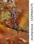 Beautiful Great Grey Owl...