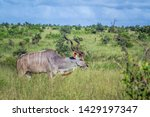 Greater Kudu Horned Male In...