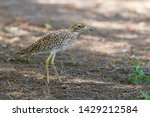 Spotted Thick Knee  Burhinus...