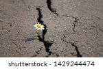 Chamomile In Cracks Of Asphalt...