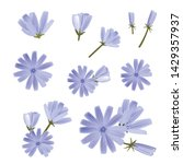 chicory vector  a collection of ... | Shutterstock .eps vector #1429357937