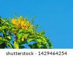 pterocarpus macrocarpus yellow... | Shutterstock . vector #1429464254