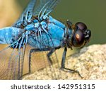 Japanese Dragonfly Close Up