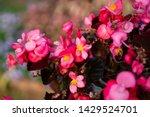 Reddish Pink Begonia Flowers...