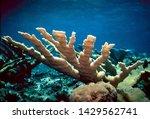 Elkhorn Coral Bahamas Caribbean Atlantic