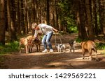 Stock photo walk with many dogs on a leash dog walker with different dog breeds in the beautiful forest 1429569221
