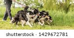 Stock photo walk with many dogs on a leash in the nature obedient border collies 1429672781