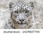 Male Snow Leopard Gazing Into...