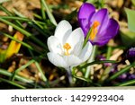 White And Purple Tommie Crocus...
