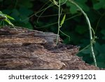 Wooden Log In Nature With Ivy...