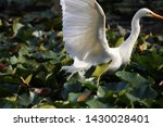 Intermediate Egret In Sydney...