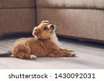Stock photo beautiful cute puppy lying on the bright floor in the apartment lifting his head up 1430092031