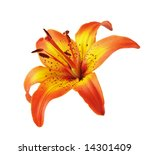 Yellow Orange Lily Head...