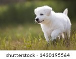 Stock photo portrait of beautiful white shepherd puppy berger blanc suisse cute puppy 1430195564