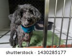 Stock photo poodle dog boarding in pet hotel 1430285177