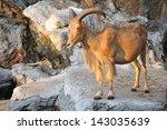 West caucasian tur goat - stock photo