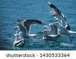 Stock photo group of herring gulls larus argentatus gathering on surface of sea to feed 1430533364