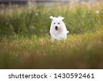 Stock photo white shepherd puppy is running on the meadow berger blanc suisse cute puppy 1430592461