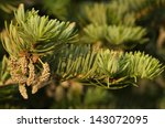 Small photo of Male cones of european fir - Abies alba