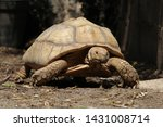 Stock photo close up baby african spurred tortoise resting in the garden slow life africa spurred tortoise 1431008714