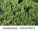 green rosemary leaves... | Shutterstock . vector #1431174671