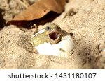 Stock photo africa spurred tortoise being born tortoise hatching from egg cute portrait of baby tortoise 1431180107