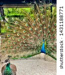 A Peacock Spreading Its Tail T...