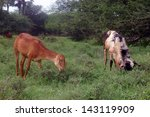 couple of goats browsing near... | Shutterstock . vector #143119909