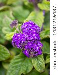 Small photo of Purple heliotrope small flowers blooming