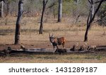 Eland  Taurotragus Oryx  And...