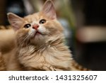 Stock photo funny cute little ginger kitten on a blurred background kuril bobtail 1431325607