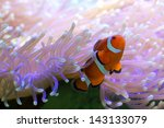 clown fish hiding in colorful... | Shutterstock . vector #143133079