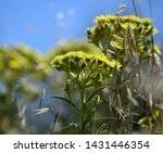 Plants Of Senecio In Full Bloom ...