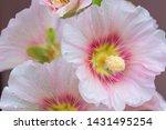 Pink Color Alcea  Hollyhock...