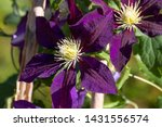 Clematis 'the Vagabond' Full...