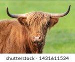 A Close Up Photo Of A Highland...
