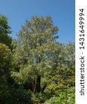Summer Foliage and Cones of a Montezuma Pine Tree (Pinus montezumae) in a Woodland Garden in Rural Devon, England, UK